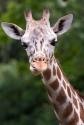 Giraffa_camelopardalis_reticulata
